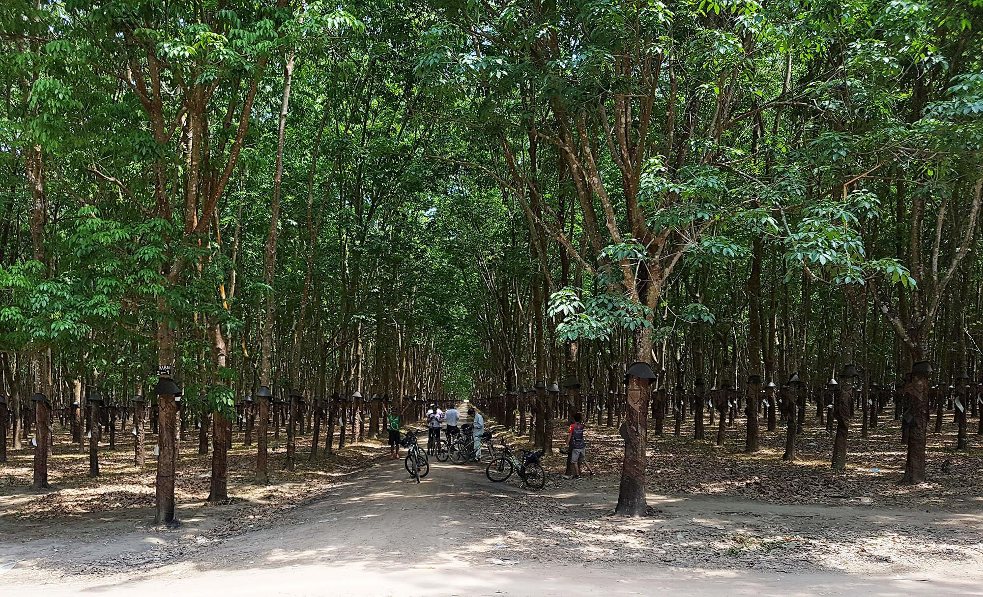 big rubber trees